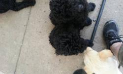 I have a one year old black standard poodle that I rescued. She is looking for a home with lots of time and love . She needs time to learn different things. She is a good girl and super friendly . Would never bite. She is skittish and nervous. I would