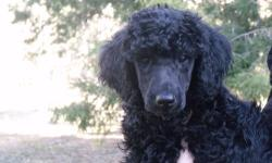 AKC Standard poodle puppies born 1/30/13. Ready to go now. 2 boys and 1 little girl left. Smart, loving, fun, non-shedding pups. Parents on premises. Have been wormed, vaccinated and have had their vet check. Excellent pedigrees. can email additional