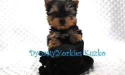 Meet Kuzko!!!! This stunning baby boy yorkie is top quality and beauty from head to toes. He has tiny ears, short muzzle, short legs, teddy bear face, great coat, compact body and personality plus! Kuzko was vet checked and got the good to go from our
