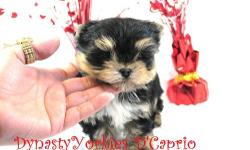 Meet D'Caprio!. This stunning yorkie puppy is top quality and beauty from head to toes. He has real teddybear face, short ears, short muzzle, short legs, stunning color, massive silky coat, expresives eyes and on top of all of this he is a sweet love