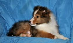 Melcolme is an exceptionally good looking Sheltie puppy as well as smart. His Sire's dad is a brother to the 2009 American Shetland Sheepdog Association's Winner's Dog. Manny's Great, Great Grandmother on the dam's side was the N.Y.S. obedience dog of the