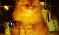 I am offering an absolutely stunning, red tabby, show quality Persian male kitten for $1,675 AS WELL as a red tabby older male with breeding rights. Without breeding rights the price is $1,475 I prefer you come see them in person, but shipping is possible