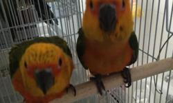 Last couple of sun conure babies available. Eating on their own. Taking a little bit of formula 1-2 times a day. All very very friendly. Like to be held and talked to. Great pet for anyone. Asking $350 each. Contact me via email text or call 516-418-6481