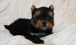 Meet Romeo!!! This adorable baby boy yorkie has all anyone can ask for on a top quality yorkies. He has teddybear face, short muzzle, small ears, massive silky coat and personality plus. He was born on Sept 26th. He will be ready to leave us by the first
