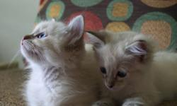 Purebred Ragdolls registered with T.I.C.A. Fully litter trained and ready for their new homes, born 3/25. Chocolate Lynx Point male very outgoing and playful. Seal Lynx Point male has longer silky hair coat. Both have beautiful blue eyes and loud purr
