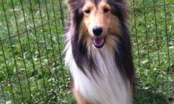 We have one very sweet 1 year old AKC Shetland Sheepdog male available. He is very quiet and is a bit personality challenged as some shelties are but once he feels comfortable he is a wonderful little guy. He gets along very well with other animals. Adult