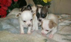 Hello Everyone, Offering up for sale some beautiful chihuahua puppies. There are bothe long haired and short haired babies available. All the babies are fully independent and eating their own. They are exactly 8 weeks and totally ready to begin their