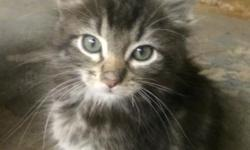 Hi my name is Carlos and I was born to a feral mom in a window well in Munsey Park along with my brother and two sisters. Thankfully some nice people rescued me when I was four weeks old. I have been living with my foster mommy, who also rescued 60+ of my