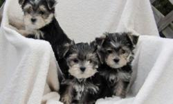 3 Adorable Morkie puppies that love to play. These little guys are 8 weeks old, weaned, and ready for new homes. They have been vet checked, vaccinated and dewormed. 1 Female, 2 Males. $600 each.