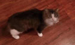 playful 2 yrs old, spayed and front declawed, will come with litter box