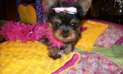 """Taz"" is purebred micro teacup Yorkie male, if you want tiny he's for you! He has a shiny coat, ears are standing up, he weighs 1 lb. 9 oz. at 18 weeks old & charting to be a 2-2&1/2 lb. adult, from traditional black/brown parents, daddy is a 3&1/2 lb."