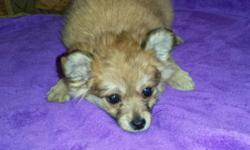 Hi GORGEOUS little tcup girl designer mix Pomeranian And longhair chihuahua Very tiny Little pocket princess! ** DELIVERY AVAILABLE :) * * *Shots * wormed Papertrained And Started on Cratetraining :) Ready to go home :)