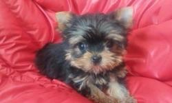 We have very cute teacup baby face with short nose male yorkie puppy. He will be around 3-4lb full grown. He is up to date on vaccination, dewormed every two weeks, his dew claw removed and tail docked.He has AKC papers like his parents. He is healthy and