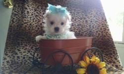 Teacup maltese puppy akc registered gorgeous baby doll face charting 4 pounds adult weight. Will come with health certificate from vet shots wormed. Ready Oct 3 and a $100 deposit will hold until then. For more info or to see puppy please call