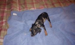 Hi i have a teacup female blk+rust with white spotting, her worming is being done and her first shot at eight weeks old she will weigh about 3 to 5 lbs very tiny and alot of spunk i am taking deposits to hold your puppy, if interested please call me at