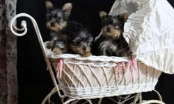 3 Teacup Yorkie puppies, 2 females and 1 male. Born October 29, 2014 First shots done Maximum weight of puppies is 5lbs, price is negotiable. You will fall in love when you see them, they are so sweet. Please email with serious inquiries ONLY! *Remember