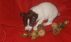 Teddy Roosevelt Terrier puppies, PLL clear, vet checked, first vaccinations and wormings. These deligtful little dogs are at home in the apartment or on the farm. The dam is strong Fire Mountain lines and the sire is out of the first litter of Purple
