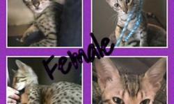 TICA registered F4 sbt savannah kittens. Two golden males, one gold female, and two silver spotted females. Prices vary per kitten, between $1000 and $2600. Inquire for breeders pricing. All of our cats and kittens are raised underfoot in our home,