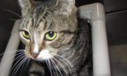 Tiger - Cookie - Medium - Adult - Female - Cat CHARACTERISTICS: Breed: Tiger Size: Medium Petfinder ID: 25183409 ADDITIONAL INFO: Pet has been spayed/neutered CONTACT: Chemung County Humane Society and SPCA | Elmira, NY | 607-732-1827 For additional