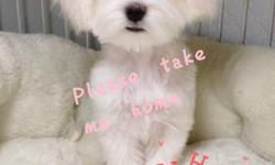 -super tiny 4 months pure maltese baby boy -finished all shots -love people -needs a new warm family -both parents are small and tiny, has great bloodline -contact asap, will go fast please visit our facebook page--https://www.facebook.com/minibabydoggy