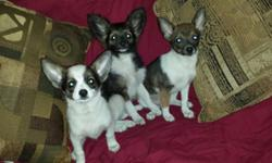 Hi Itty bitty pocket puppies :) Papillion chihuahua designers Very bubbly personalities... Shots wormed Papertrained And cratetraing
