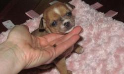 i have several litters of chihuahua puppies. normally when we bred 3 or 4 females, one takes, this time they all did! so we have 11 puppies in all. they range in size( from the tiniest 2 lb as an adult, to standard 6 lbs) and price.(450.00 ~900.00) you