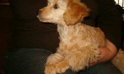 Male toy poodle, 3 months old, champagne and apricot -- beautiful color and delightful personality. Playful but not a barker, affectionate and smart, trained to use a wee-wee pad in the house. Small, non-shedding. Price is $475. and includes health