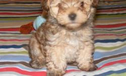 Tiny male yorkiepoo puppy very cute and playful born Feb 23 2014 is 8 weeks old ready to go will make a very nice pet will have 1st shots and wormed and vet checked
