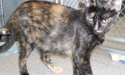Tortoiseshell - Gizzy - Medium - Adult - Female - Cat CHARACTERISTICS: Breed: Tortoiseshell Size: Medium Petfinder ID: 24356006 ADDITIONAL INFO: Pet has been spayed/neutered CONTACT: Chemung County Humane Society and SPCA | Elmira, NY | 607-732-1827 For