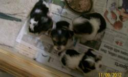 I HAVE FOUR TOY SIZE PARTI-COLOR MALE PUPS THAT WILL BE READY FOR CHRISTMAS. THE PICS I HAVE TAKEN ARE NOT THAT GREAT, BUT AT LEST YOU CAN SEE THEIR COLORS. I HAVE BOTH PARENTS ON THE PREMISES, WITH THE MOTHER BEING AROUND FIVE POUNDS, AND HER COLORS ARE