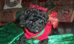 Poodle female puppy akc registered black sweet and playful.Mom is black and is 4.8 pounds and dad is light brown and 4 pounds. Puppy will come with a health certificate from vet shots wormed puppy starter pack with food blanket toy ect. For more info or