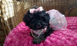 Toy poodle female puppy ckc registered 9 weeks old sweet loves kisses. Will come with shot records wormed food toys blanket ect... Willing to meet part way.For more info or to see her please email call or text I will get back to you thank you