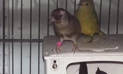 im trading my two exotic finches for gouldians please call me 917-577-9161