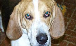 Treeing Walker Coonhound - Darby - Medium - Baby - Female - Dog Darby is an adorable 6 month old Walker Hound. Love those ears!! She has the typical hound nose and wants to smell everything, but she also thinks she should be a lap dog and likes to sit on