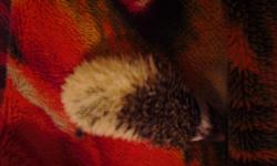 I have two baby hedgehogs, both black pinto. One male, who is a high pinto, and one moderate pinto female. They were born on March 23rd, and will be ready to go to new homes after May 4th. More pictures available on request.