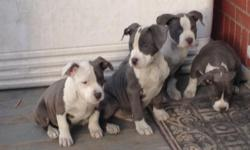 I am selling four blue blood bully Pitts 12 weeks old for 700 OBO. Prices are NEGOTIABLE. There are two females and two males. They are dewormed, vaccinated, and ready to go. Edge blood line. Parents are provided in the picture below. You can look up both