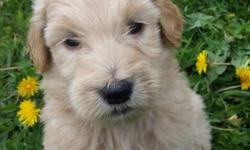 Looking for a female goldendoodle who can be trained to be a service dog. Looking in the Syracuse area not too far away.