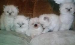 2 himalayan kittens ready for christmas 8 weeks old. Male and female. Super friendly and have been socialized with kids. Litter trained. Will come with first set of shots, papers, and pkd checked. 212-470-1114 They were born october 29,2014