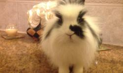 Elsa, a little queen , very sweet, loves to be held or if out the cage(supervised) finds a cozy sheet to cuddle in, hates getting her hair messy will be cleaning it all day...lionhead dwarf mix Simba, loves attention, great personality will follow you