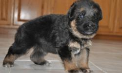 Are you looking for a World Class German Shepherd puppy? You?re on the right ad. These pups will be socialized and loved. As these cuties have the potential for show they will be quite of head-turners. You are offered the privilege to own the grand-pup of