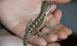 Very cute baby beardies!!! About 3-4 inches! Beardies are a great starter reptile...friendly and low maintenance!!! $59.99 ea.