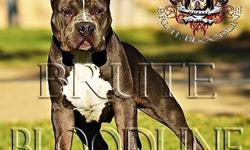 Exclusive bred XL Brute Bloodline bully style pitbull, blue in color with massive block head and heavy tri color gene, 8 months old 60+lbs 19.5 inches tall at the withers, 22 inch head & wide mussel. May be available to the right person for the right