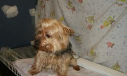 Yorkie male, shots, wormed, and housebroken. Call 585 285 5095.