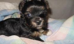 Daddy is a 3 lb Yorkie Mommy is a 5 lb long coat CH line Chihuahua. Will be very small. Only baby in the litter <3 Will be seen by a real vet for shots and wormings. Health guarantee. Lifetime support. Goes home with toys, security blanket, medical