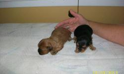 Yorkie mix Puppies: Born 9/16/2012. Ready to go early November. Mix breed puppy. Dad is a pure bred Yorkie. Mom is mix of Yorkie, Toy Poodle, and Shitzu. See pictures. Both Mom and Dad weigh about 6 pounds. Puppies should be small. Non-shedding. Will be