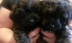 Boy and girl Yorkie poo puppy. Ready now. First shots, dewormed, front line, vet check . Should be 6-10 pounds Elmira