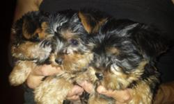 Yorkie puppies - registered pedigree - puppy shots and dewormed - ready to go - asking $800