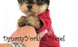 Meet Diesel! This stunning baby boy yorkie is looking for his forever family. He has short ears, short muzzle, teddybear face and an amazing personality. He comes with 1 year health guarantee, up to date on vaccinations, health certificated from a NY