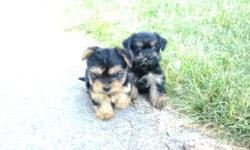 Yorkie /tzu's : Alene & Irene , two female Yorkie/tzu's ,9 wks old, dewormed, has 1st vaccs, well - socialized, non - shedding, paper - trained & crate - trained. The pups eats 1/3 cup pedigree puppy sized bites 3 x times a day and always fresh cold