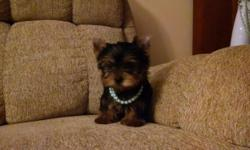Yorkie tiny male puppy 14 weeks old weight is 2 1/2 pounds charting weight as adult is 4.5 pounds he will come with a health certificate from vet shots wormed food toys blanket etc. For more info or to see puppy please call 315-489-7129 thank you